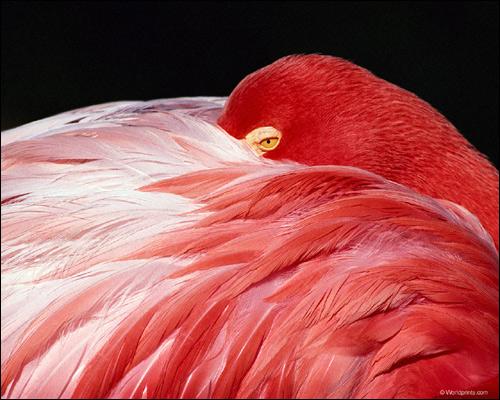 Розовый фламинго (Phoenicopterus roseus), Фото фотография птицы картинка