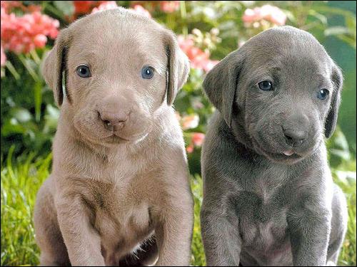 Щенки веймаранера, веймарской легавой, Фото фотография картинка собаки