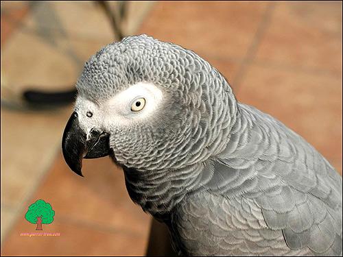Серый попугай, жако (Psittacus erithacus), Фото фотография картинка птицы