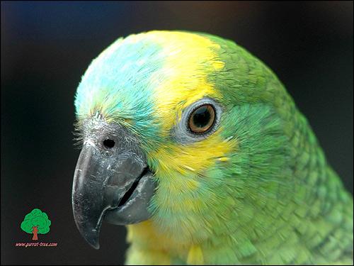 Попугай амазон, Фото фотография картинка птицы