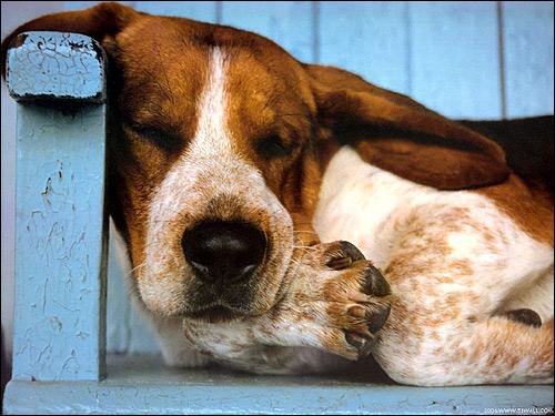 Спящий бассет, бассет-хаунд, Фото фотография собаки картинка