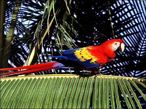 Красный ара, араканга, ара макао, ара Скарлета (Ara macao), Фото фотография картинка птицы