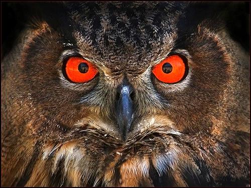 Хищная птица филин, Фото фотография птицы картинка