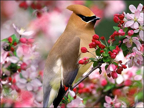 Свиристель (Bombycilla garrulus), Фото фотография картинка птицы