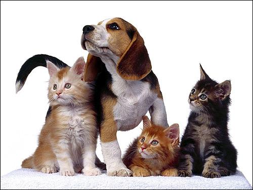 Щенок бигля с тремя котятами, Фото фотография собаки