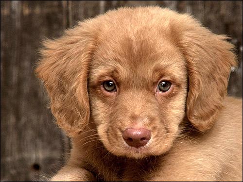 Щенок новошотландского ретривера, Фото фотография собаки картинка