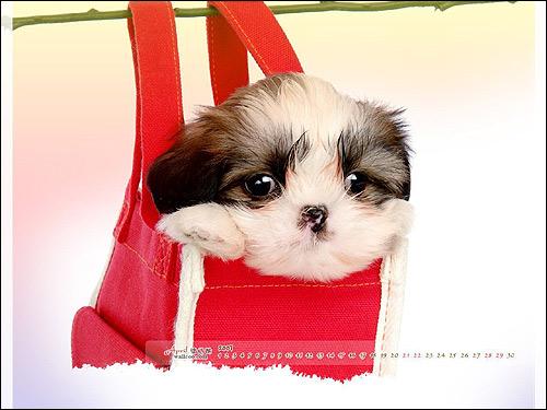 Щенок ши-тцу, Фото фотография собаки картинка