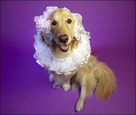 Золотистый ретривер, голден-ретривер, Фото фотография собаки картинка