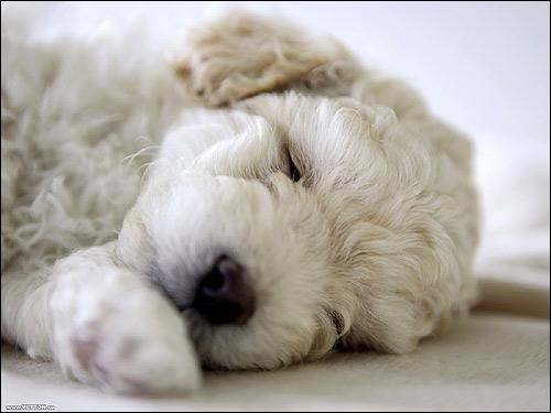 Спящий щенок пуделя, Фото фотография собаки картинка