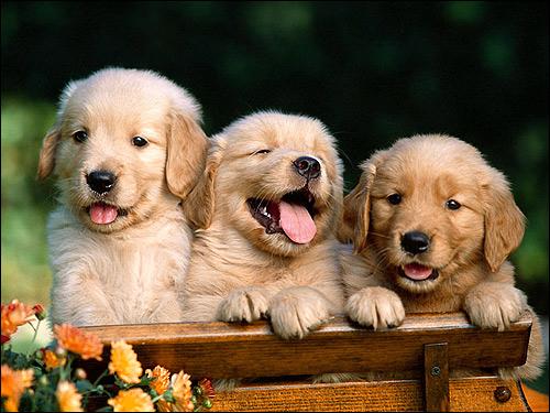 Щенки золотистого ретривера, голден-ретривера, Фото фотография собаки картинка