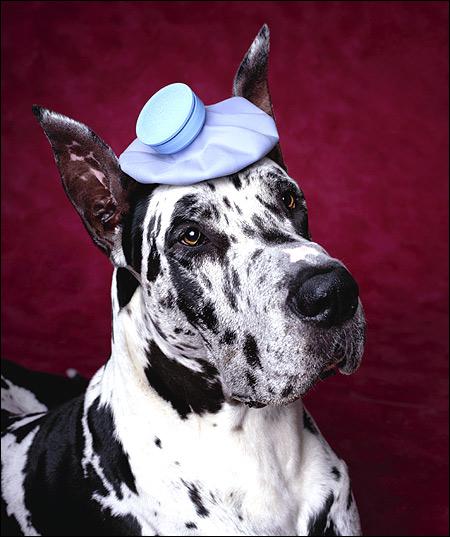 Немецкий дог, Фото фотография породы собак картинка