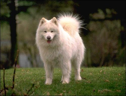 Самоедская лайка, самоед, Фото фотография породы собак картинка