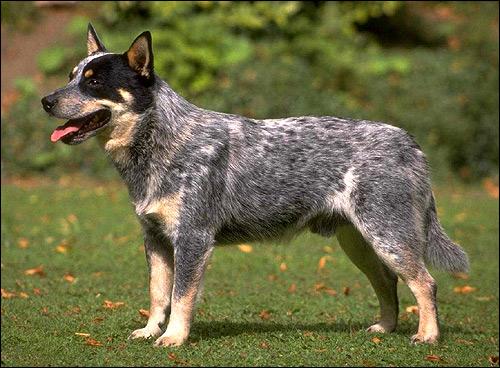 Австралийская пастушья собака (австралийский хилер), Фото фотография породы собак