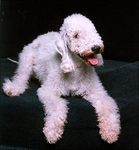 Бедлингтон-терьер, Фото фотография породы собак картинка