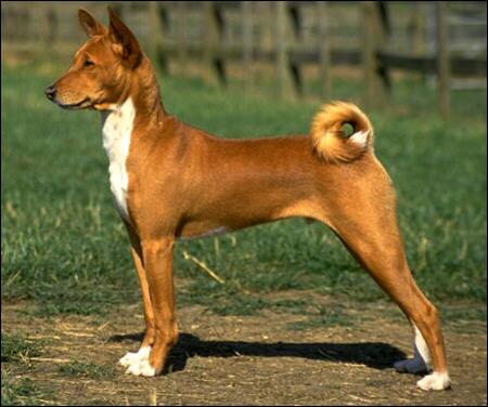 Басенджи, Фото фотография породы собак картинка