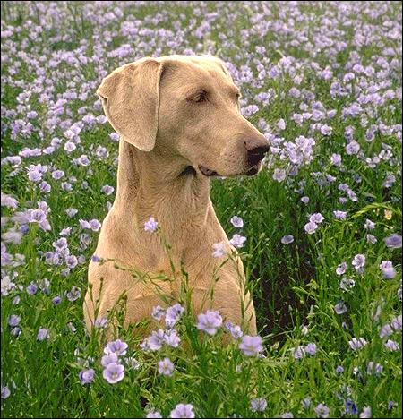 Веймарская легавая, веймаранец, Фото фотография породы собак