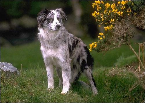 Бордер колли, Фото фотография породы собак