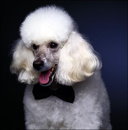 Белый пудель, Фото фотография породы собак картинка