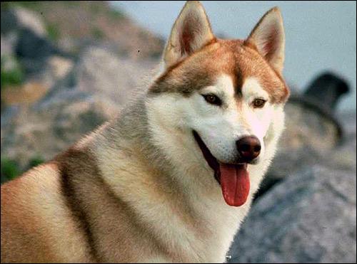 Сибирский хаски, Фото фотография породы собак картинка
