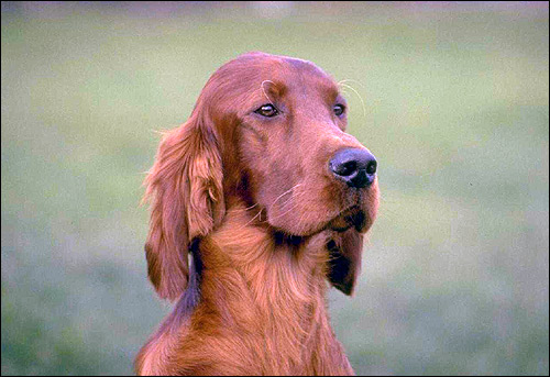 Ирландский сеттер, Фото фотография породы собак картинка