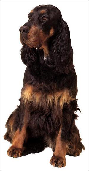 Сеттер-гордон, шотландский сеттер, Фото фотография породы собак картинка