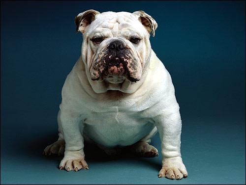 Белый английский бульдог, Фото фотография собаки картинка