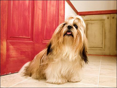 Ши-тцу, Фото фотография породы собак картинка