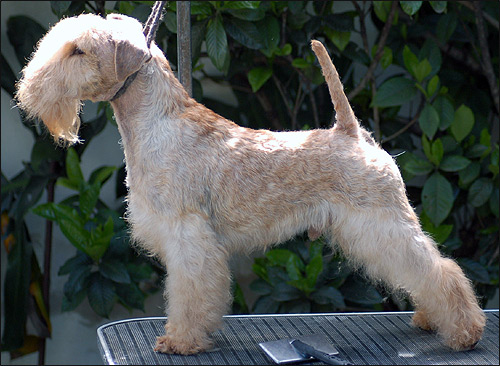 Лэйкленд терьер, CHELINES BLOODY RIVER. Фото фотография породы собак картинка