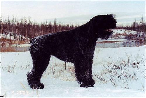 Бувье де фландр Хит Аливет Маюми, фландрский бувье, Фото фотография породы собак