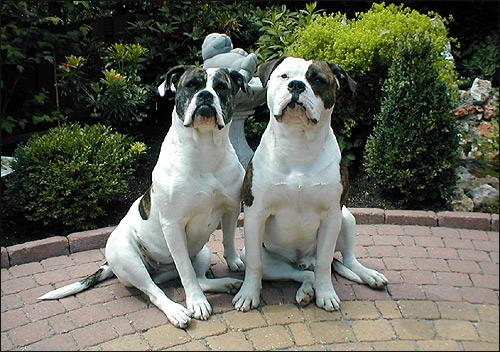 Американский бульдог Kennel Excalibur, Фото фотография породы собак картинка