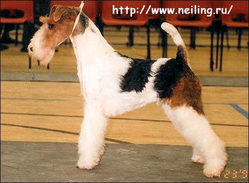 Фокстерьер жесткошерстный, фокс Saredon Take That, Фото фотография породы собак картинка