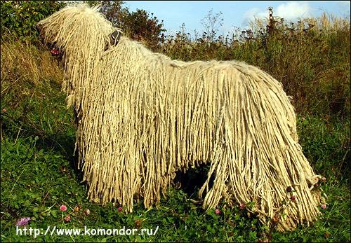 Комондор, венгерская овчарка, Фото фотография породы собак картинка
