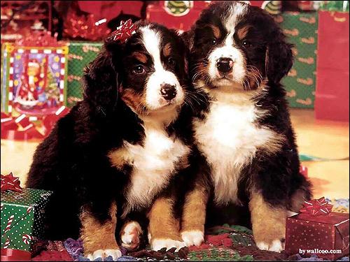 Щенки бернского зенненхунда, Фото фотография собаки картинка