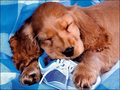 Щенок спаниеля, Фото фотография собаки картинка