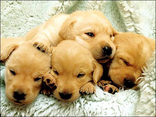 Щенки лабрадора-ретривера, Фото фотография собаки картинка