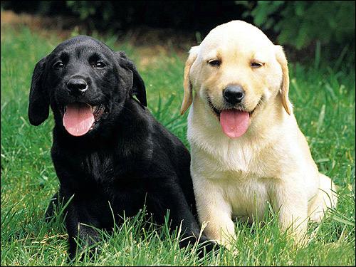 Щенки лабрадора ретривера (палевый и черный), Фото фотография собаки картинка