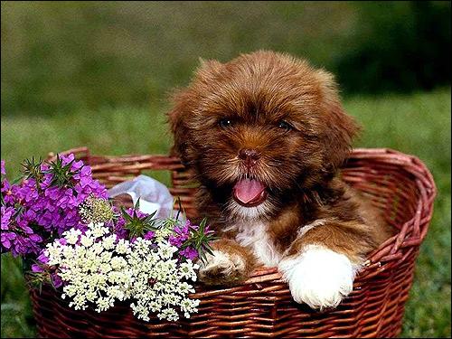 Лохматый щенок в корзинке, Фото фотография собаки картинка