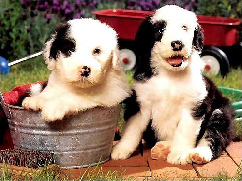 Щенки бобтейла староанглийская овчарка, Фото фотография собаки картинка