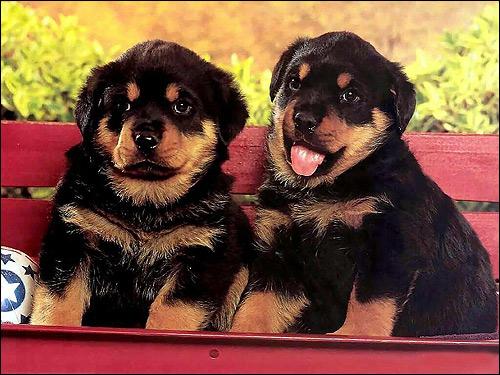 Щенки ротвейлера, Фото фотография собака картинка