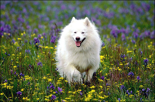 Самоедская лайка, Фото фотография породы собак