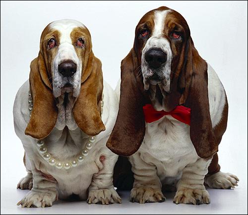 Бессет-хаунды, Фото фотография собаки картинка