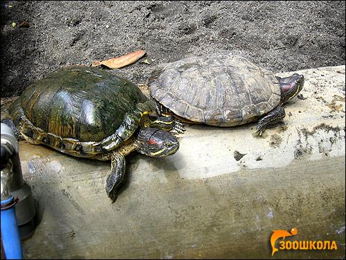 Красноухие черепахи (Trachemys scripta), Фото фотография картинка