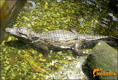 Крокодиловый кайман, очковый кайман (Caiman crocodilus), Фото фотография картинка рептилии