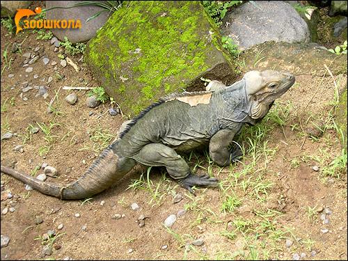Игуана-носорог (Cyclura cornuta), Фото фотография картинка рептилии