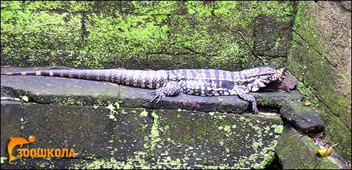 Аргентинский тегу, гигантский тегу (Tupinambis merianae), Фото фотография картинка рептилии