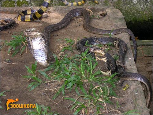 Кобры, Фото фотография картинка, рептилии
