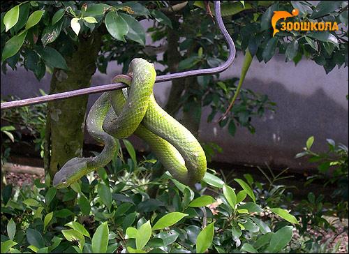 Белогубая куфия (Trimeresurus albolabris), Фото фотография рептилии змеи