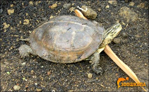 Черепаха шарнирная амбоинская (Cuora amboinensis), Фото фотография картинка рептилии