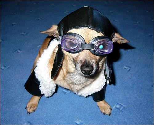 Маленькая собачка в костюме летчика, Фото фотография собака картинка