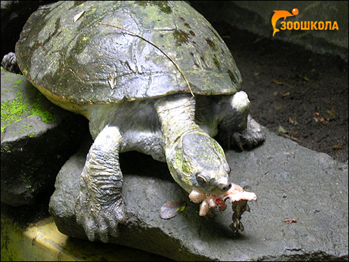 Батагур (Batagur baska), Фото фотография картинка рептилии черепахи
